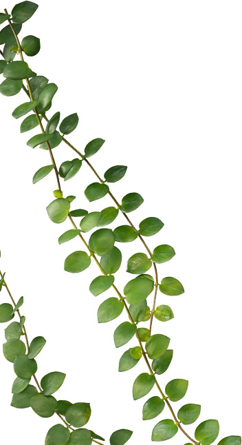 enquer leaf1